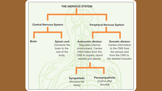 Demystifying the Nervous System and Fight or Flight Response