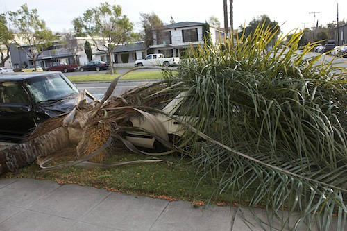 Top of palm tree that landed on car